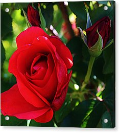 Rose Delight Acrylic Print by Bruce Bley