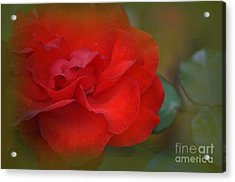 Rose Dream Acrylic Print by Mary Machare