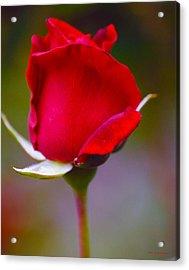 Rose I Acrylic Print by DiDi Higginbotham