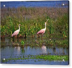 Roseate Spoonbills Acrylic Print by Louise Heusinkveld