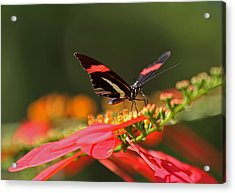 Rosina Butterfly Acrylic Print by Juergen Roth