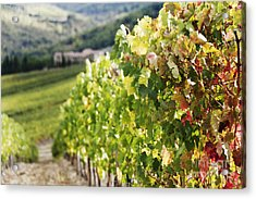 Row Of Grapevines In Vineyard Acrylic Print by Jeremy Woodhouse