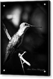 Ruby-throated Hummingbird - Signature Acrylic Print by Travis Truelove