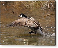 Running Atop The Water Canada Goose  - C2660a Acrylic Print by Paul Lyndon Phillips