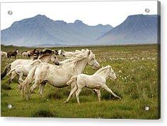 Running Wild In Iceland Acrylic Print by Gigja Einarsdottir