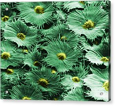 Russian Silverberry Leaf  Acrylic Print by Asa Thoresen and Photo Researchers