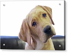 Sad Looking Yellow Lab With Head Tilted On Chair Acrylic Print by Back in the Pack dog portraits