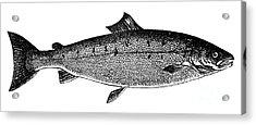 Salmon Acrylic Print by Granger