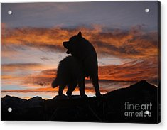 Samoyed At Sunset Acrylic Print by Kent Dannen and Photo Researchers