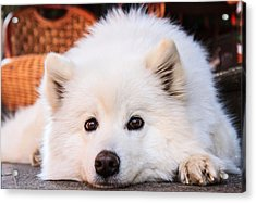 Samoyed Puppy Acrylic Print by Feng Wei Photography