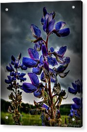 San Francisco Volcanic Field Silver Lupines Hdr Acrylic Print by Aaron Burrows