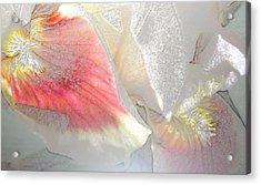 Sangria White Iris Acrylic Print by Gretchen Wrede