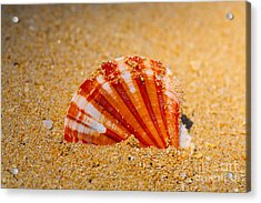 Scallop Shell Acrylic Print by Cheryl Young