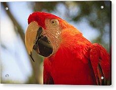 Scarlet Macaw Parrot Acrylic Print by Adam Romanowicz