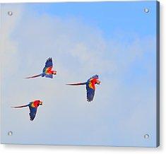 Scarlet Macaws Acrylic Print by Tony Beck