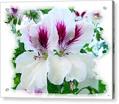 Scented Geraniums 2 Acrylic Print by Will Borden