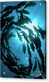 School Of Fishes Acrylic Print by Sami Sarkis
