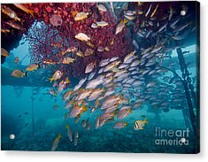 Schools Of Gray Snapper, Yellowtail Acrylic Print by Terry Moore