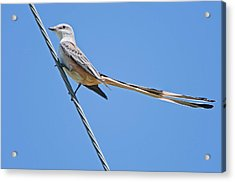Scissor-tailed Flycatcher Acrylic Print by Bonnie Barry