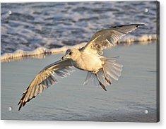 Sea Gull At Twilight Acrylic Print by Paulette Thomas
