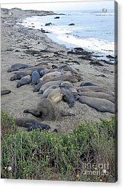 Seal Spa. Sand Bath Acrylic Print by Ausra Huntington nee Paulauskaite