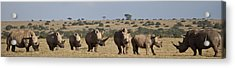 Seven White Rhinos Line Up In Solio Acrylic Print by Robin Moore
