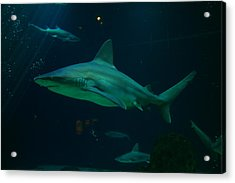 Shark Acrylic Print by Jeff Swan