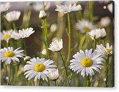 Shasta Daisy (leucanthemum 'filigran') Acrylic Print by Maria Mosolova