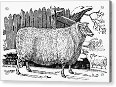 Sheep, 1788 Acrylic Print by Granger