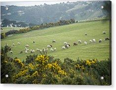 Sheep Graze On The Otago Peninsula Acrylic Print by Bill Hatcher