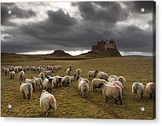 Sheep Grazing By Lindisfarne Castle Acrylic Print by John Short