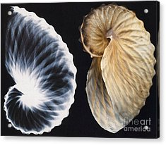 Shell X-ray Acrylic Print by Photo Researchers