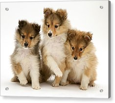 Sheltie Puppies Acrylic Print by Jane Burton