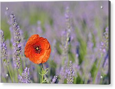 Shirley Poppy In English Lavender Field, Valensole, Valensole Plateau, Alpes-de-haute-provence, Provence-alpes-cote D Azur, Provence, France Acrylic Print by Martin Ruegner