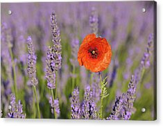 Shirley Poppy In English Lavender, Valensole, Valensole Plateau, Alpes-de-haute-provence, Provence-alpes-cote D Azur, Provence, France Acrylic Print by Martin Ruegner