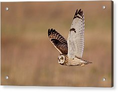 Short-eared Owl Acrylic Print by Andrew Sproule