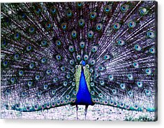 Showoff Acrylic Print by Eric Chapman