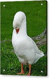 Shy Goose Acrylic Print by Lisa Phillips