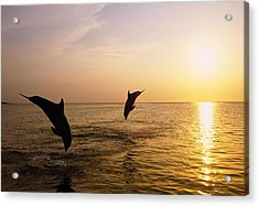 Silhouette Of Bottlenose Dolphins Acrylic Print by Natural Selection Craig Tuttle