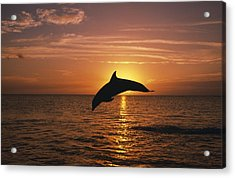 Silhouette Of Leaping Bottlenose Acrylic Print by Natural Selection Craig Tuttle