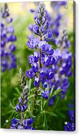 Silver Lupine Colorado Mountain Meadow Acrylic Print by The Forests Edge Photography - Diane Sandoval