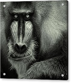 Singapore Zoo, Mandrill Acrylic Print by By Toonman