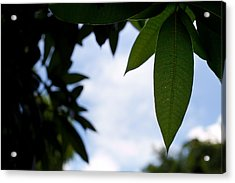 Single Mango Leaf Silhouetted Against The Sky Acrylic Print by Anya Brewley schultheiss