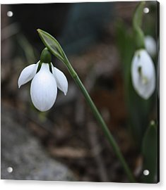 Single Snowdrop Squared 1 Acrylic Print by Teresa Mucha