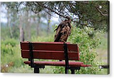 Sitting Eagle Acrylic Print by Whispering Feather Gallery