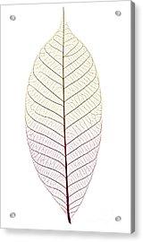Skeleton Leaf Acrylic Print by Elena Elisseeva