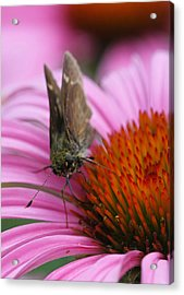Skipper Butterfly Acrylic Print by Juergen Roth