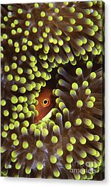Skunk Clownfish Hiding In Anemone Acrylic Print by Beverly Factor