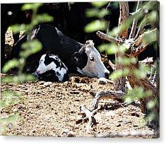 Sleepy Arizona Cows Acrylic Print by Methune Hively