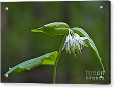 Small-flowered Fairy Bell Acrylic Print by Sean Griffin
